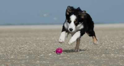 A border collie chasing a pink ball along the beach